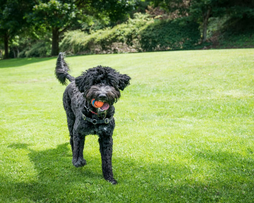 Happy dog with a ball at a local park in Minneapolis, Minnesota near Oaks Minnehaha Longfellow