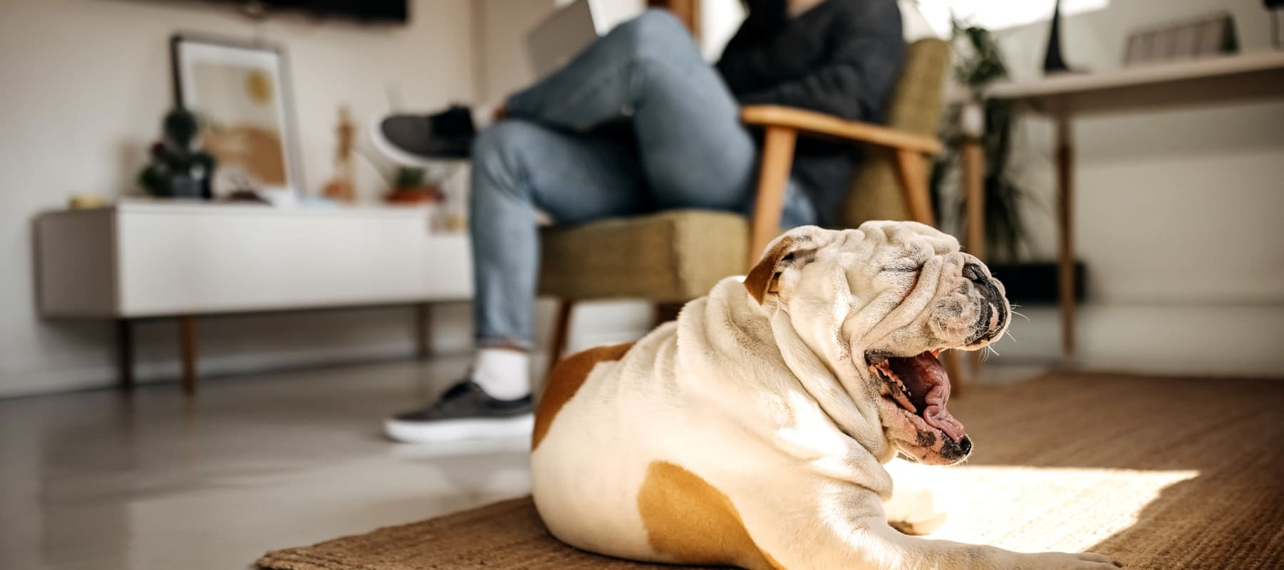 Bulldog yawning and relaxing on the floor of her new home at 17th Street Lofts in Atlanta, Georgia