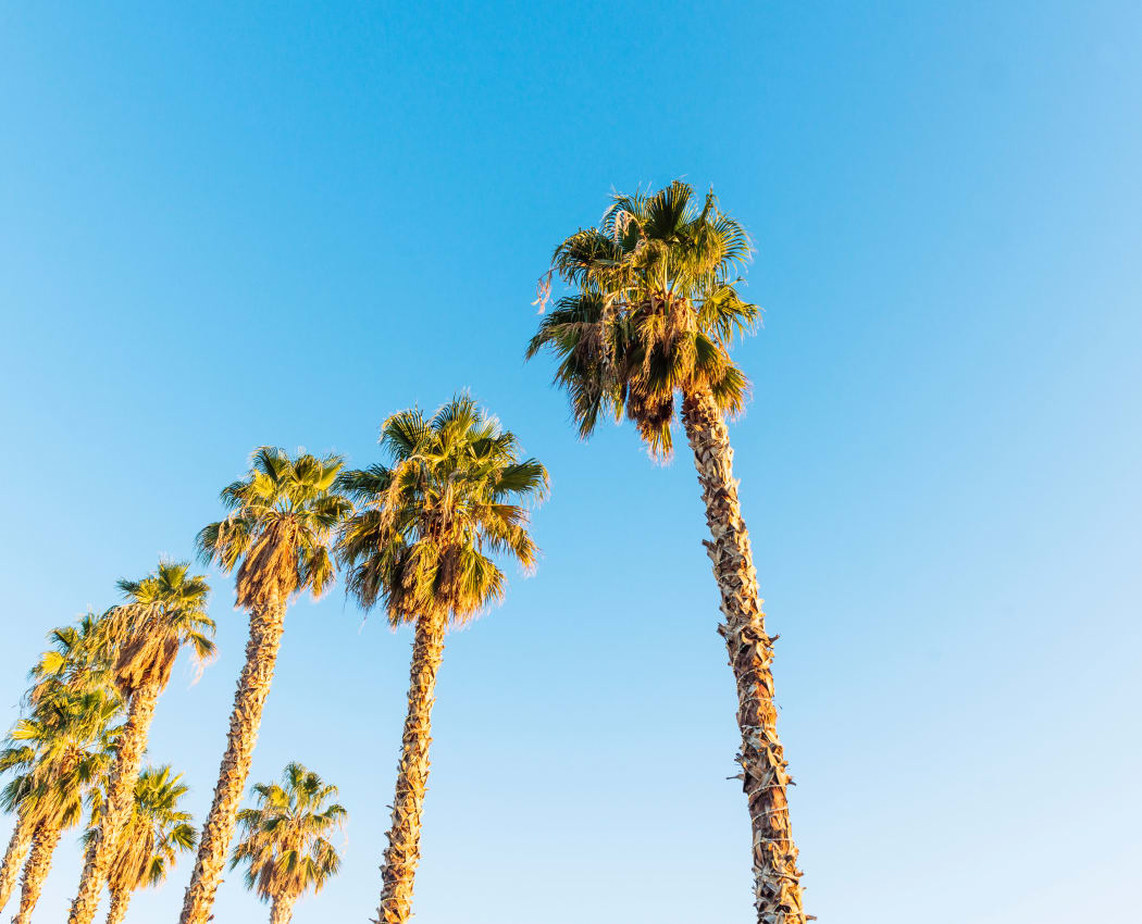 Palm trees in Henderson, Nevada