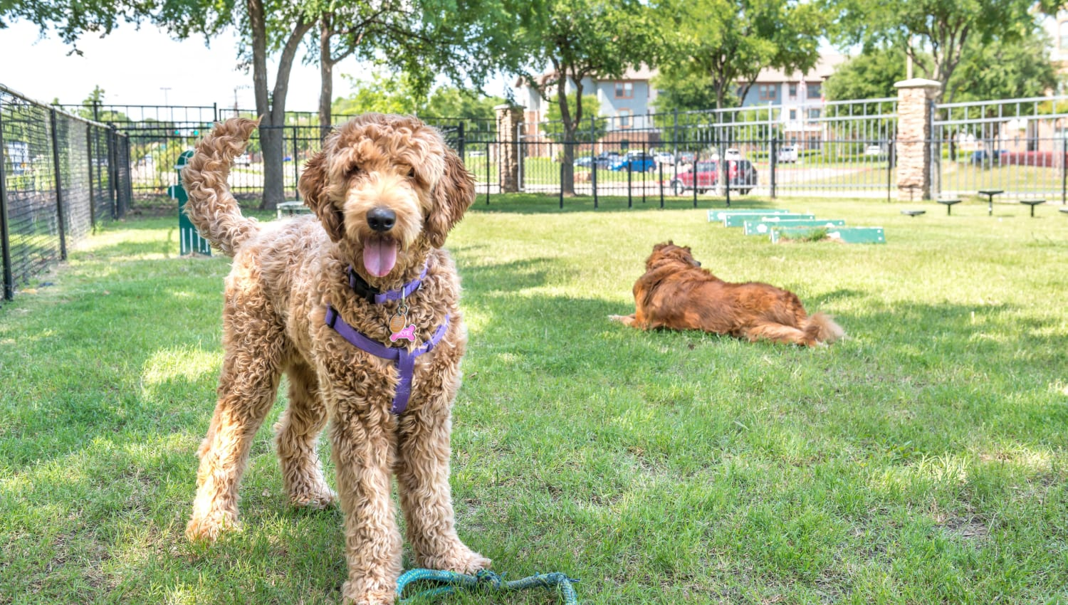 Happy dogs at the bark park at Olympus Stone Glen in Keller, Texas