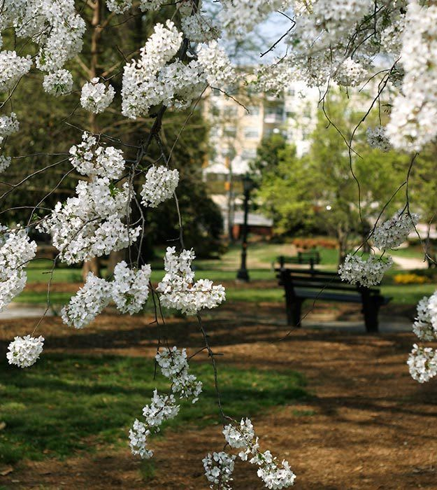 View of one of the parks in downtown Raleigh with flowers blooming in Spring