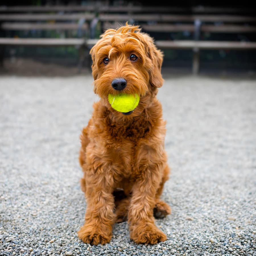 Resident pup with tennis ball at Renaissance Apartment Homes