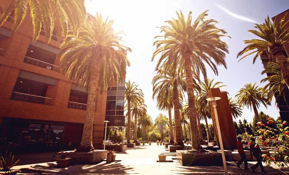 Palm trees of Palo Alto