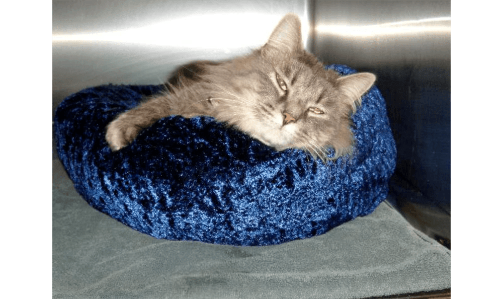 Gray Cat In Blue Bed