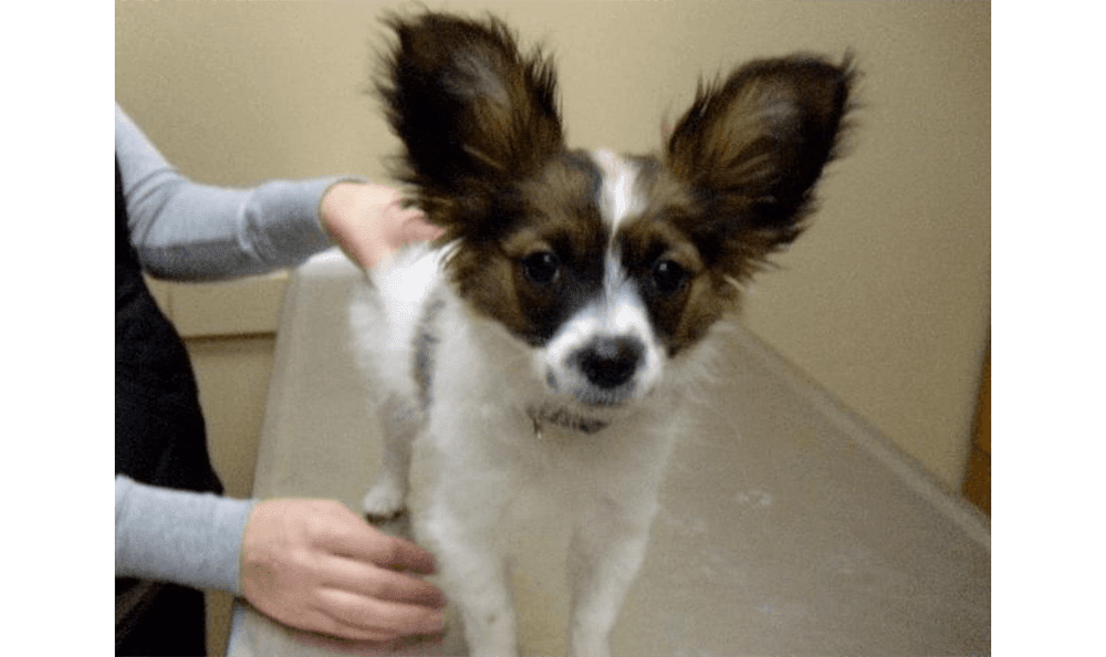 Papillon With Ears Up