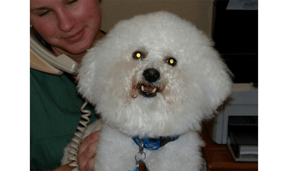 Poofy White Dog With Fangs