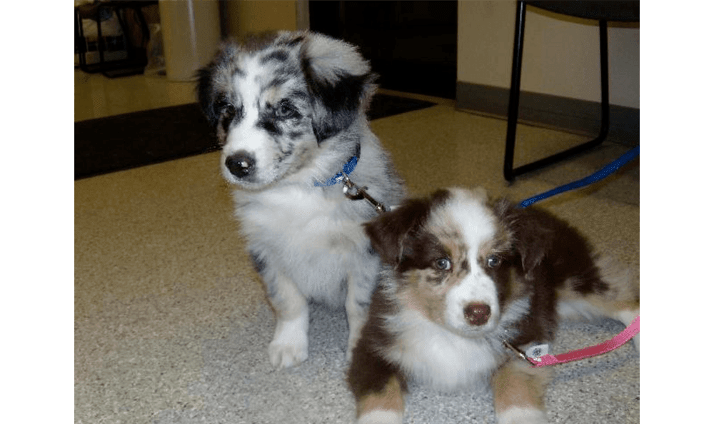 Two Australian Shepard Puppies