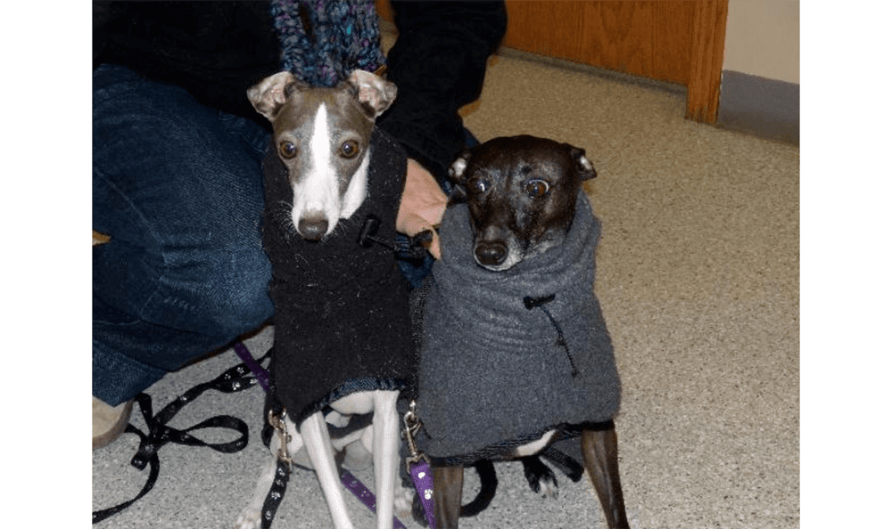 Two Greyhounds In Sweaters