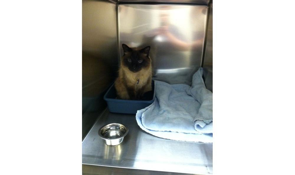 Caspian Kinser the cat at Lynnwood animal hospital
