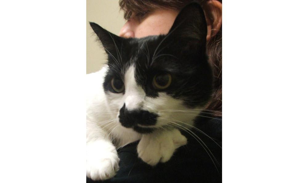Dahl Schmitty the cat at Lynnwood animal hospital