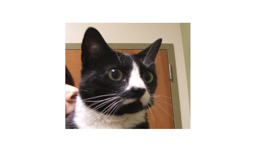 Dahl Tia the cat at Lynnwood animal hospital