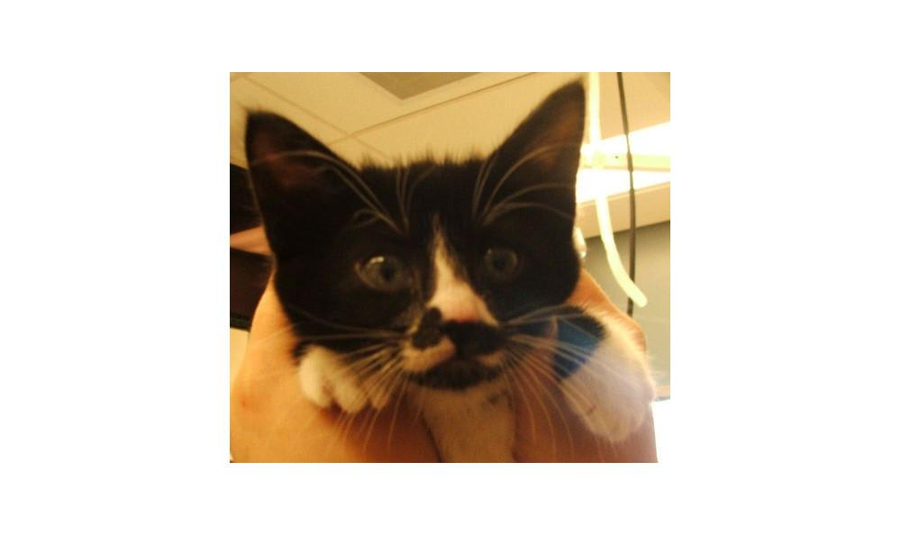Sloan-Bentley the cat at Lynnwood animal hospital