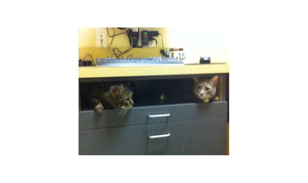 Top Drawer cats the cat at Lynnwood animal hospital