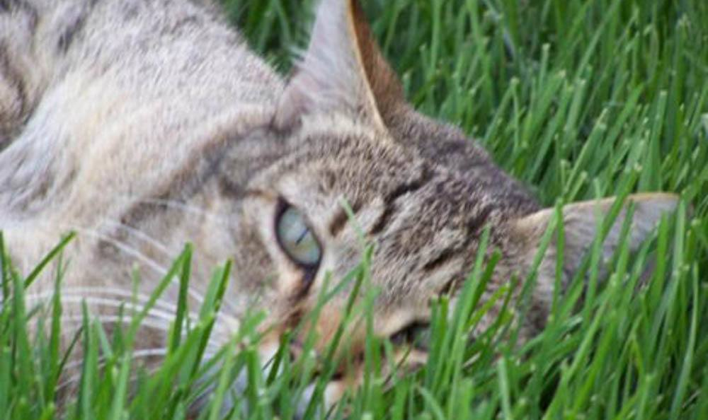 Cat Laying In The Grass At Massanutten Animal Clinic In Harrisonburg