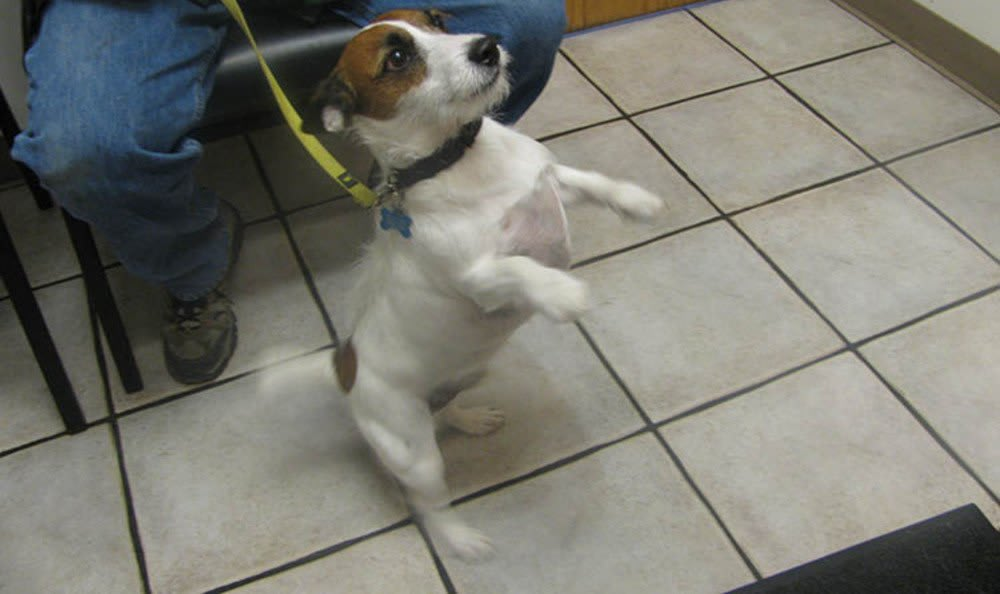 Happy Jack Russell at Arvada animal hospital