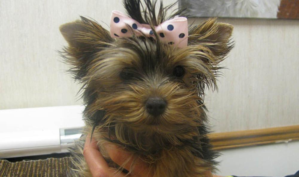 Puppy with bow at Arvada animal hospital