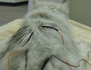 Acupuncture procedure at Memorial Cat Hospital