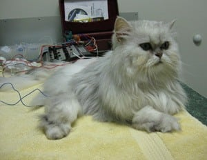 Acupuncture being performed at Memorial Cat Hospital