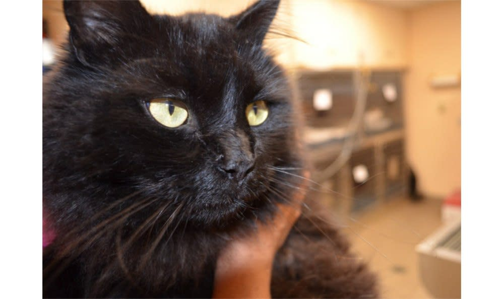 A nice view of a black cat at Greenbrier Veterinary Hospital