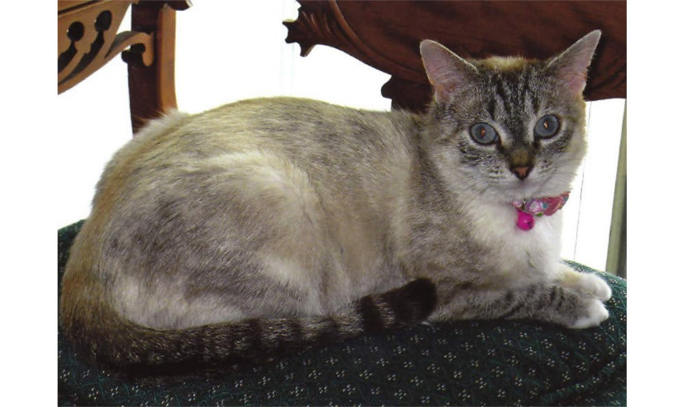 A grey cat at Greenbrier Veterinary Hospital