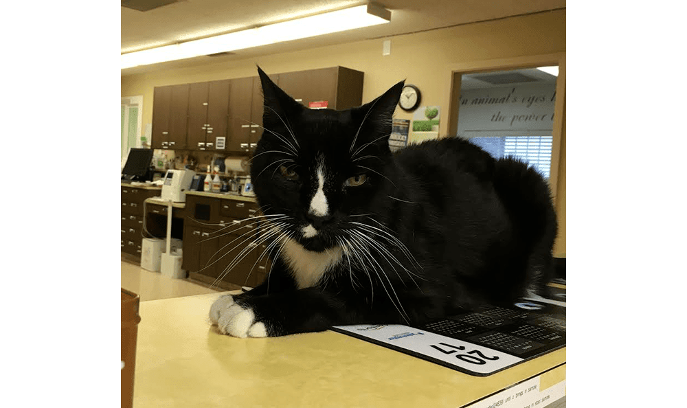 Oatie on the front desk at Coastal Cat Clinic