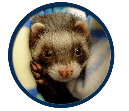 Ferrets treated in Elmwood Park