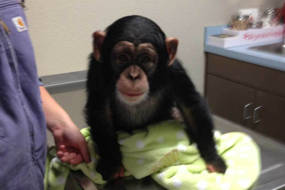 Silly chimp at Lee's Summit Animal Hospital