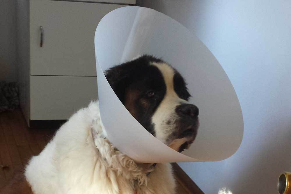 The dreaded cone worn by a sad dog at Lee's Summit Animal Hospital