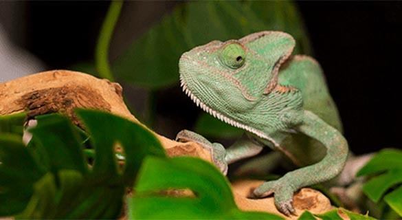 A chameleon will always make you feel like you're being watched at Symphony Veterinary Center.
