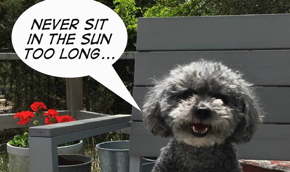 Mister poodle of New York is wise.