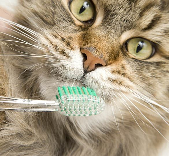 Des Moines dental disease prevention information at Animal Hospital
