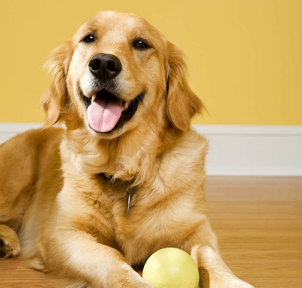 A doggie holds a ball in the floor at The Animal Hospital on the Golden Strip in Williamsport, Pennsylvania