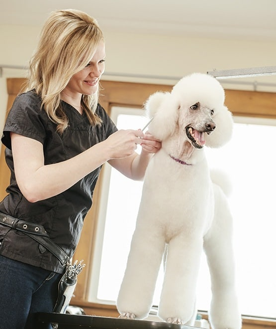 A fancy poodle being groomed at Veterinary Group of Chesterfield.