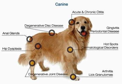Laser therapy for dogs in Clive