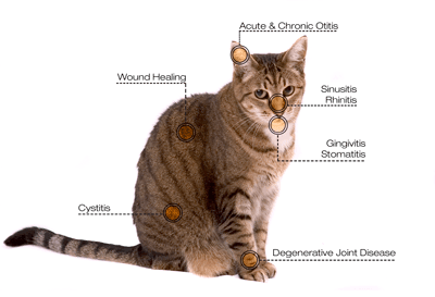 Laser therapy diagram for cats at Princess Anne Veterinary Hospital