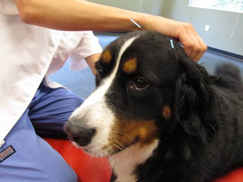 Acupuncture process at Quail Corners Animal Hospital