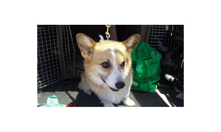 Pet Pic of Corgy at Mesa Animal Hospital