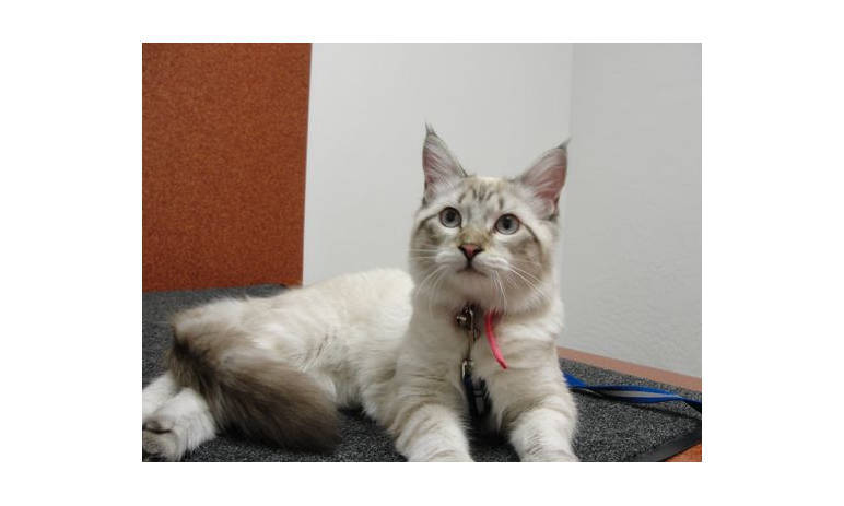 Pet Pic of light cat at Mesa Animal Hospital