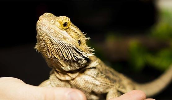 Apophis, Bearded Dragon