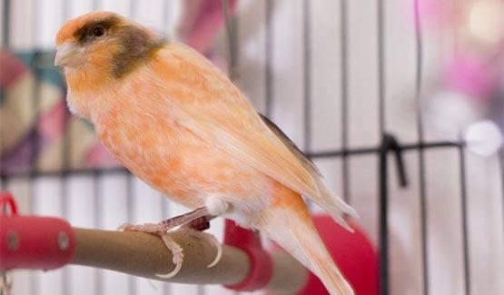 Meep, Canary