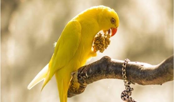 Sunny, Indian Ringneck Parakeet