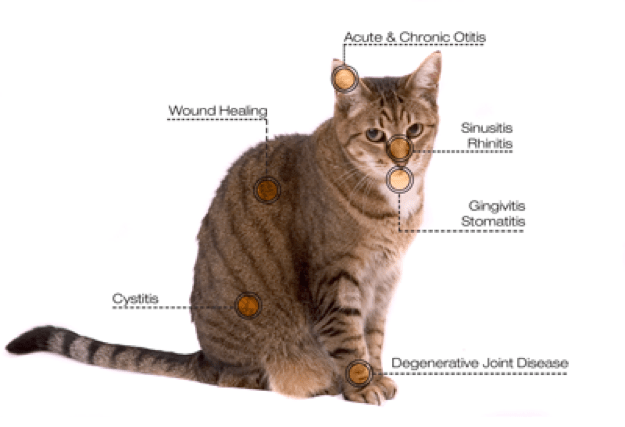 Laser therapy for cats at Animal Medical Clinic - Wheaton