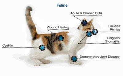 Laser therapy for cats in Clive