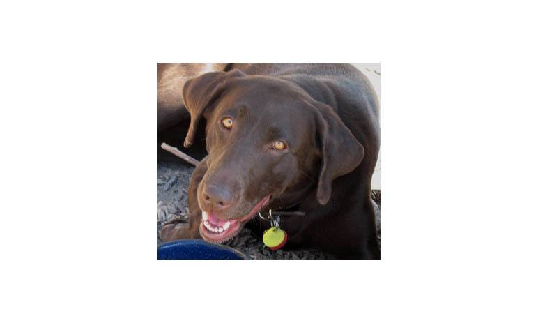 Chocolate lab at Alta Animal Hospital