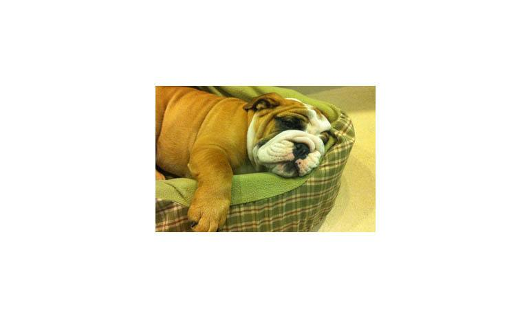 Tiny bulldog lounging around at Alta Animal Hospital