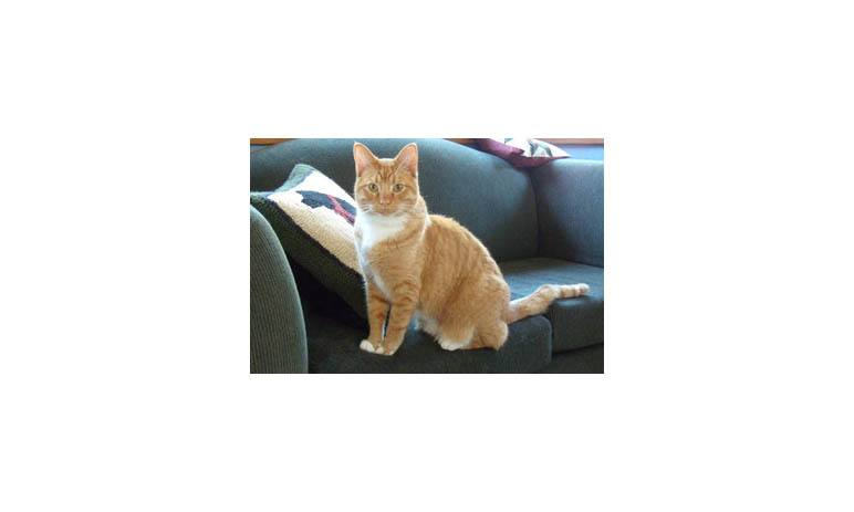Tiny orange cat on couch at Alta Animal Hospital