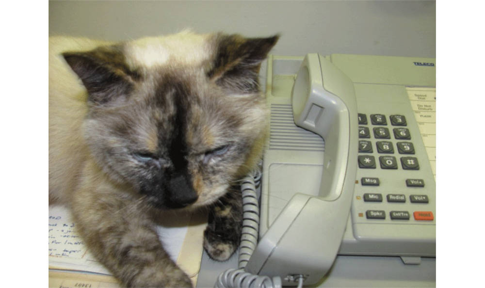 Genius cat answering the phone at Hanover Regional Animal Hospital
