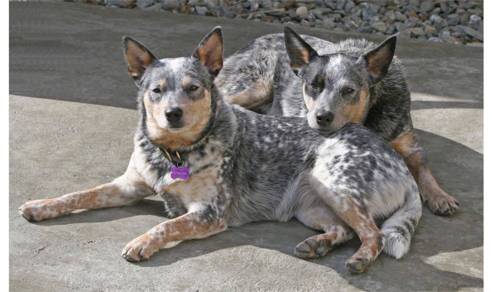 A pair of dogs at Vacaville animal hospital