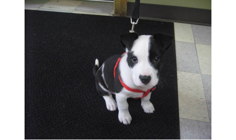 Black and white puppy at Kitsap Veterinary Hospital in Port Orchard, Washington