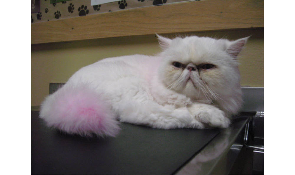 Snowflake the cat at Kitsap Veterinary Hospital in Port Orchard, Washington
